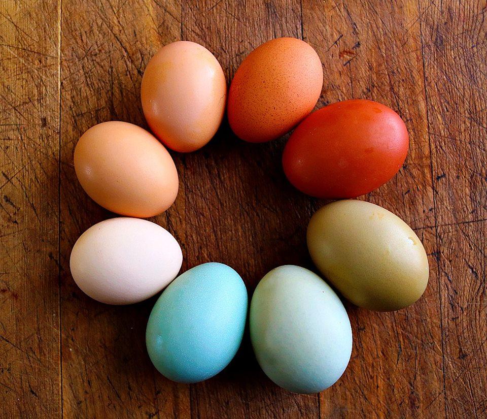 Americauna Chicken Eggs Araucana Ameraucana Ee Araucana Chickens araucana chickens
